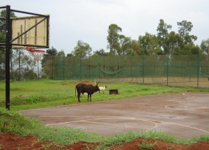 Cow and Goat 2.jpg