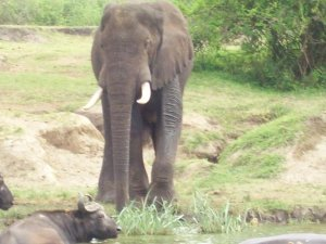 Elephant and buffalo along channel at QE.jpg