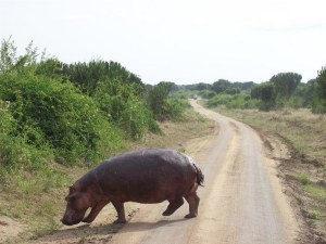 Hippo Crossing Road at QE.jpg