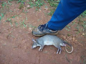 Ratty with Foot.jpg